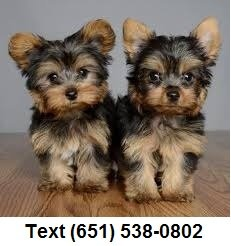 Exceptional tiny t-cup Yorkshire Terrier puppies for sale.