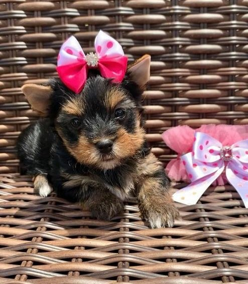 Yorkie puppies for adoption text (971)318-3477