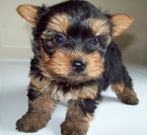 yorkiE Puppie ready for sell}{}