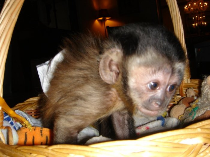 HOME TRAINED BABY CAPUCHIN,MARMOSET AND SQUIRREL MONKEYS FOR SALE.