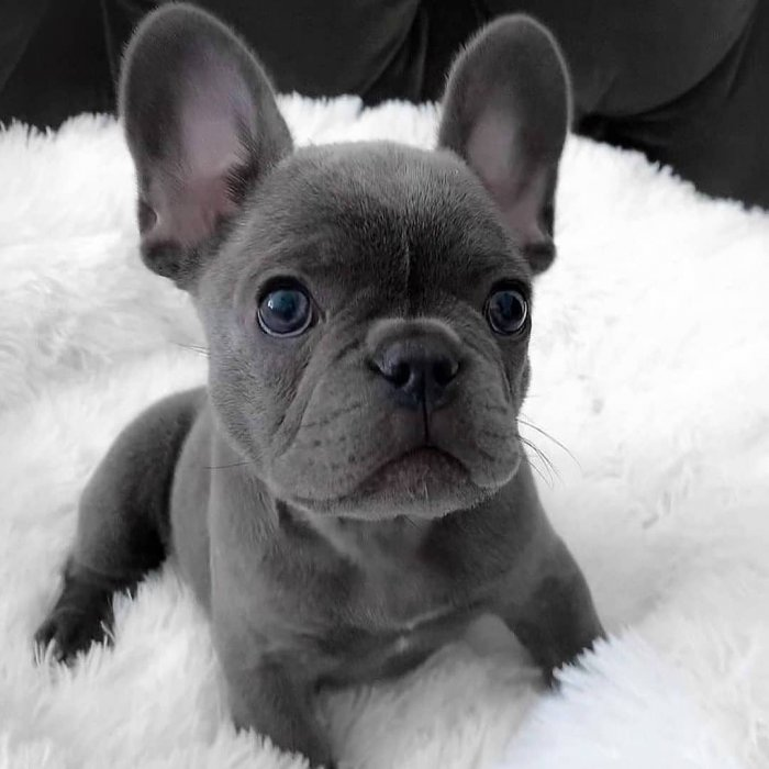 French Bulldog Puppies For Sale | https://sunshineteacuppuppiesho me.com/