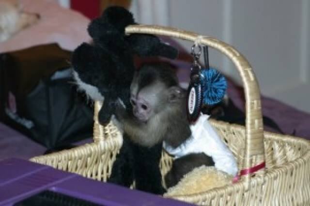 Baby Capuchin Monkeys Available Text us at (516) 200-8707