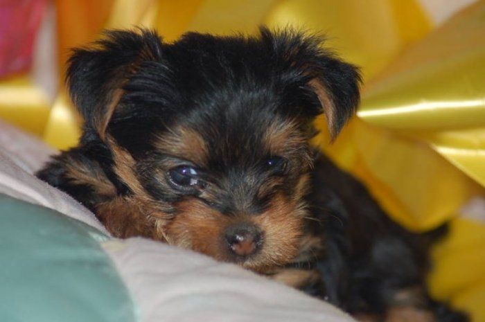 Yorkie puppies available for adoption sms (720) 577-5054